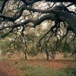 Old, old oak tree
