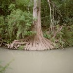cycypress roots in muddy water